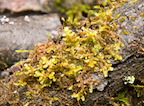 image of Porella moss growing on a log