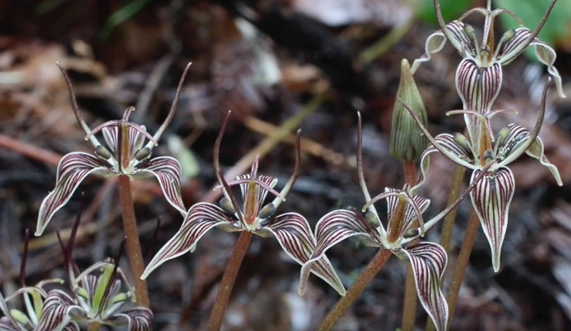 Visual Guides to the Plants of California: Scoliopus bigelovii