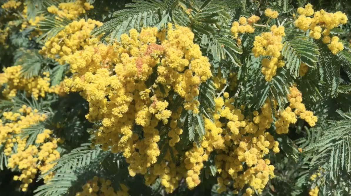 Visual Guides to the Plants of California: Scoliopus bigelovii