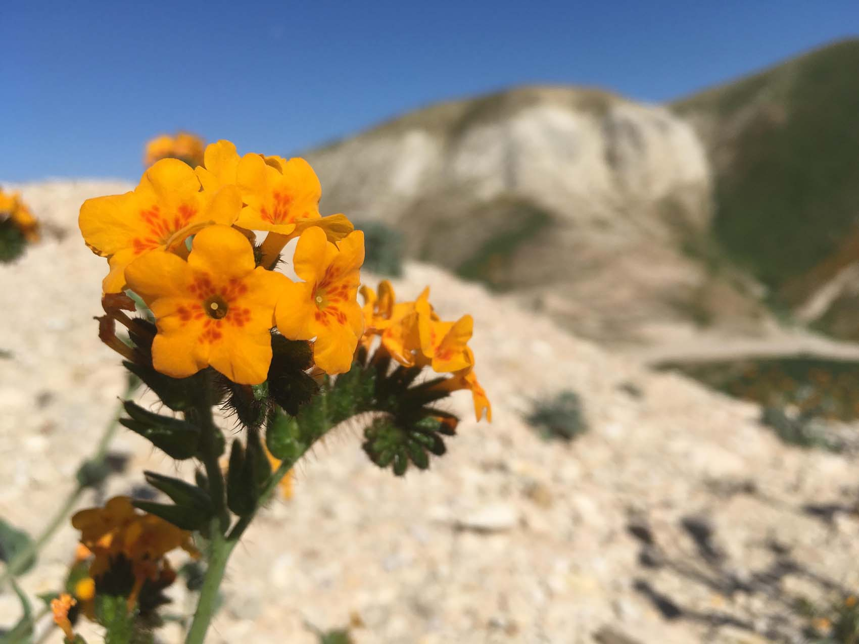 Visual Guides to the Plants of California: Amsinckia furcata