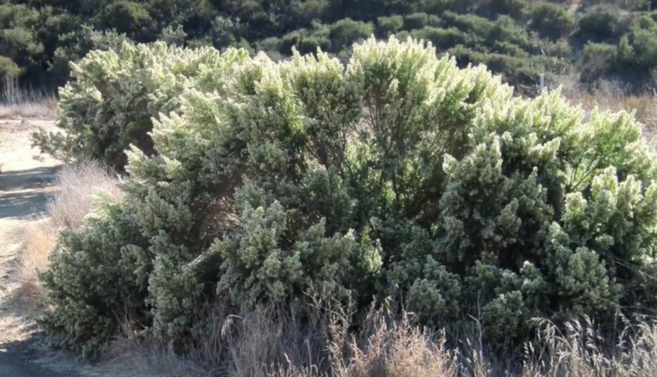 Visual Guides to the Plants of California: Baccharis pilularis