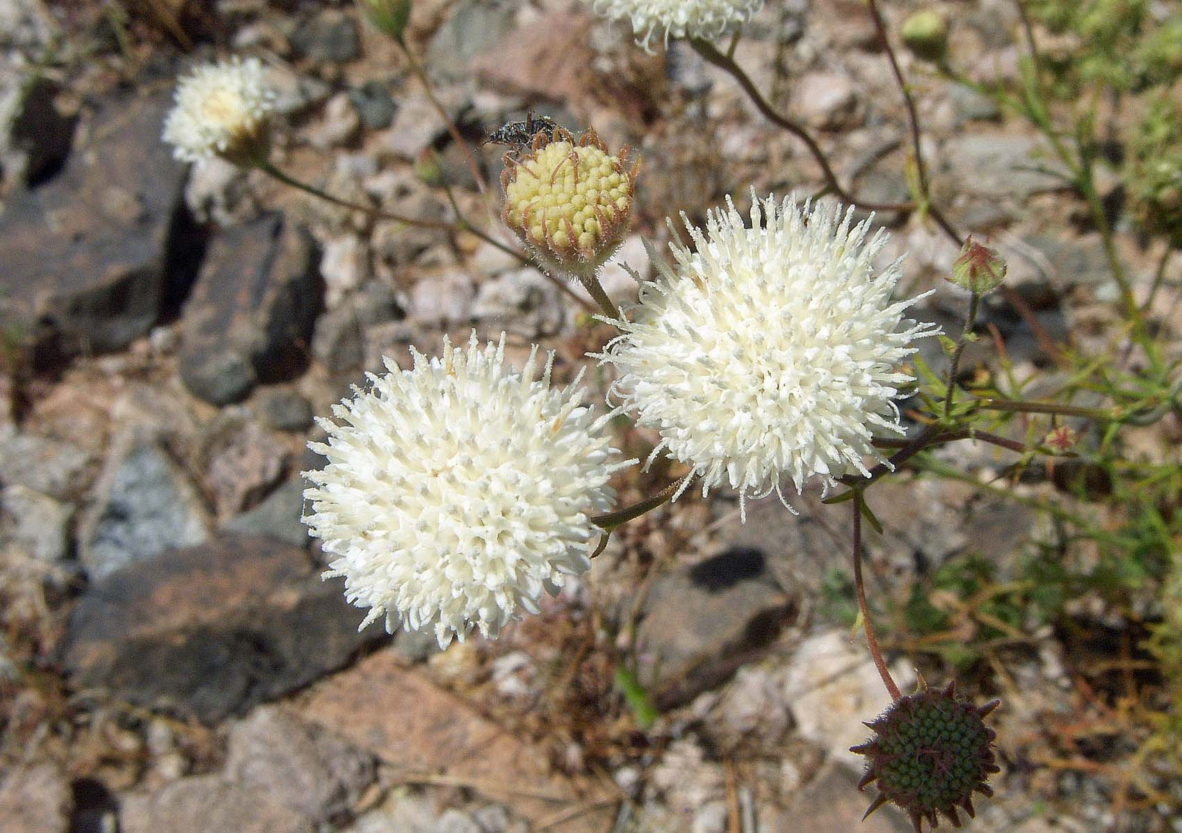 Visual Guides to the Plants of California: Chaenactis carphoclinia