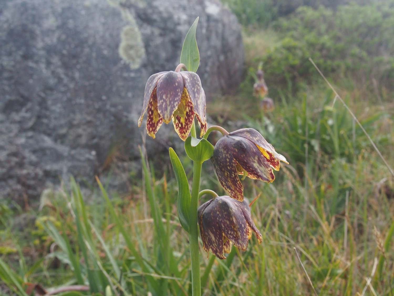 Visual Guides to the Plants of California: Fritillaria affinis