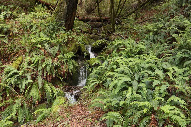 Visual Guides to the Plants of California: Polystichum munitum