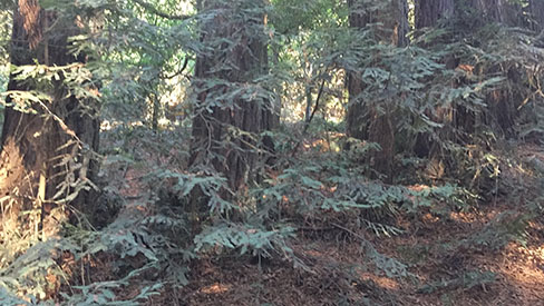 Visual Guides to the Plants of California: Sequoia sempervirens
