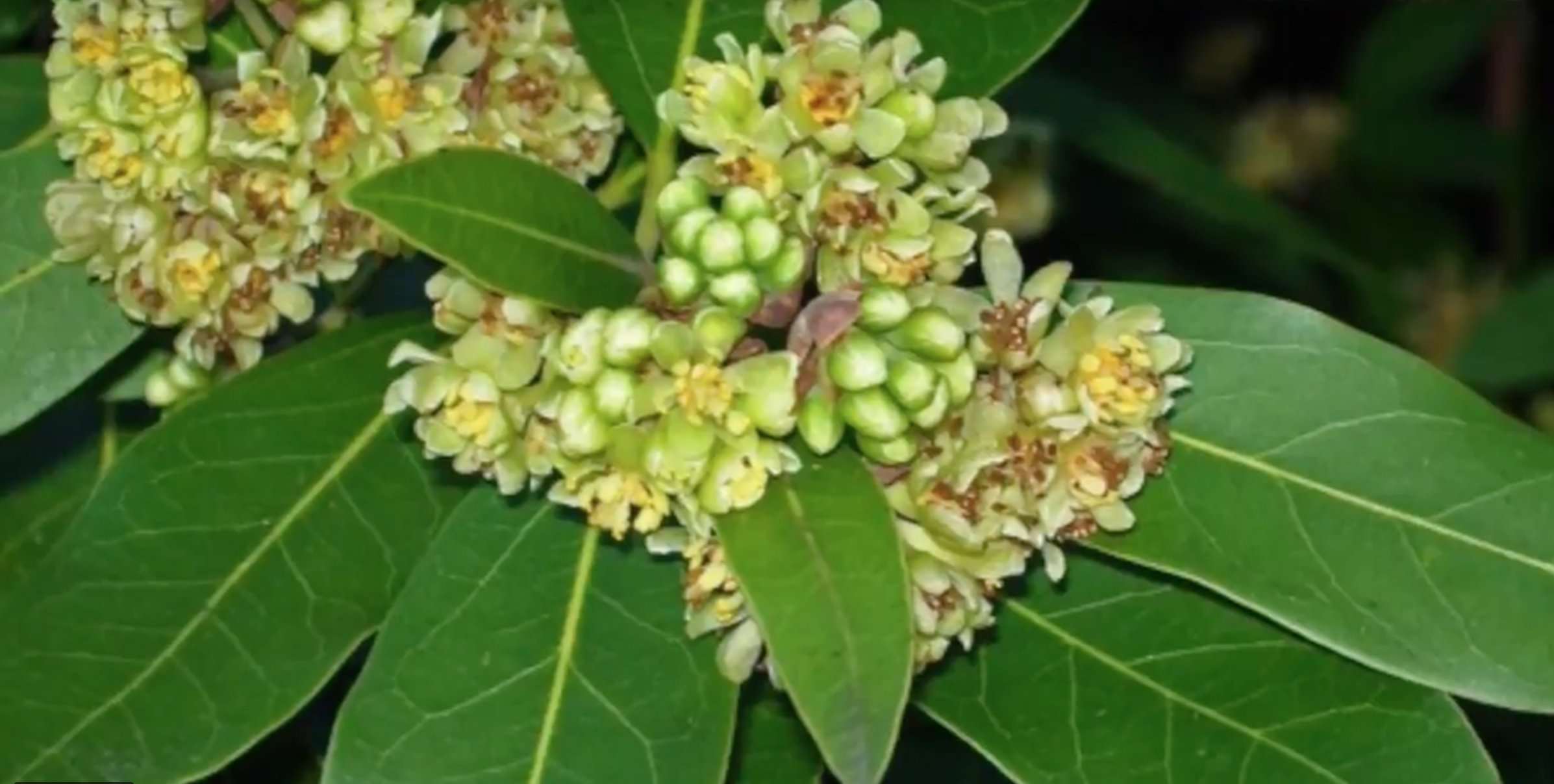 Visual Guides to the Plants of California: Umbellularia californica
