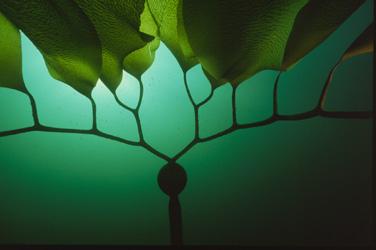 Pelagophycus porra seaweed photograph