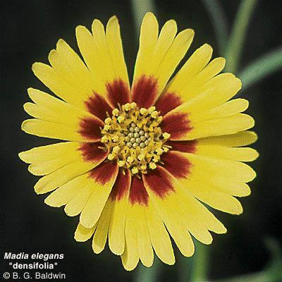 Madia elegans