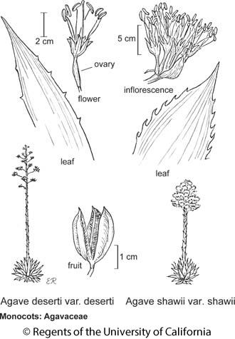 botanical illustration including Agave shawii var. shawii