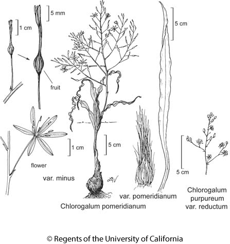 botanical illustration including Chlorogalum pomeridianum var. pomeridianum