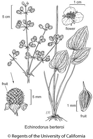 botanical illustration including Echinodorus berteroi