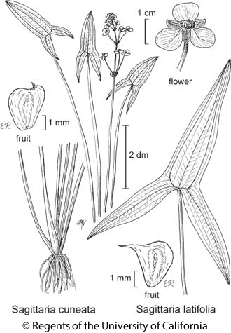 botanical illustration including Sagittaria cuneata