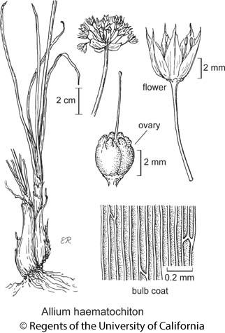 botanical illustration including Allium haematochiton