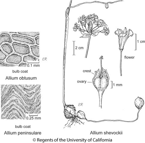 botanical illustration including Allium peninsulare