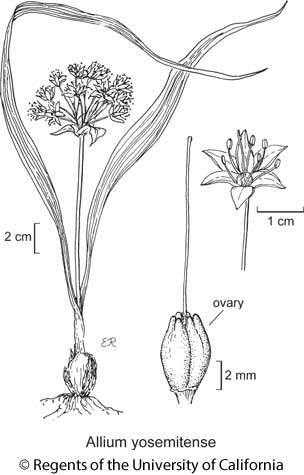 botanical illustration including Allium yosemitense