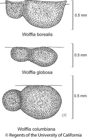 botanical illustration including Wolffia columbiana