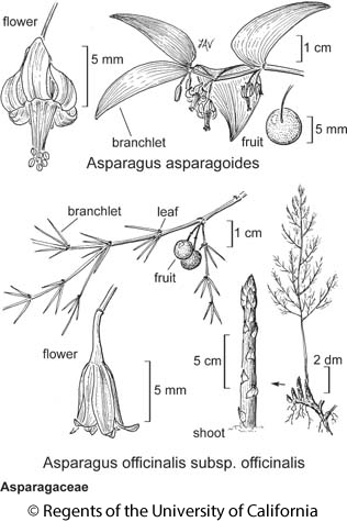 botanical illustration including Asparagus officinalis subsp. officinalis