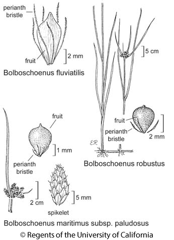 botanical illustration including Bolboschoenus maritimus subsp. paludosus
