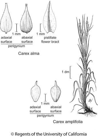botanical illustration including Carex amplifolia