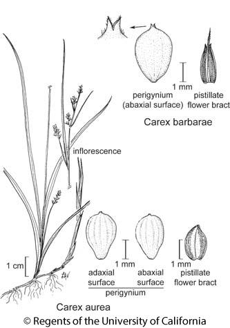 botanical illustration including Carex barbarae