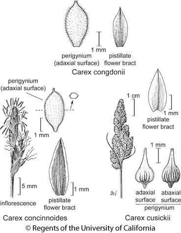 botanical illustration including Carex concinnoides