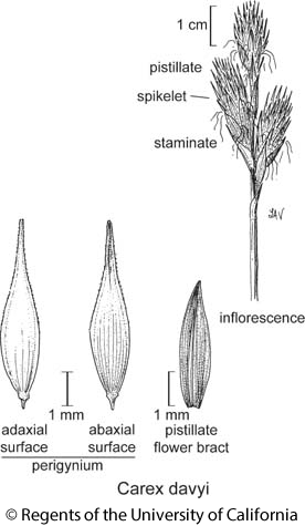 botanical illustration including Carex davyi