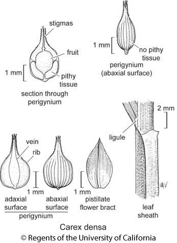 botanical illustration including Carex densa