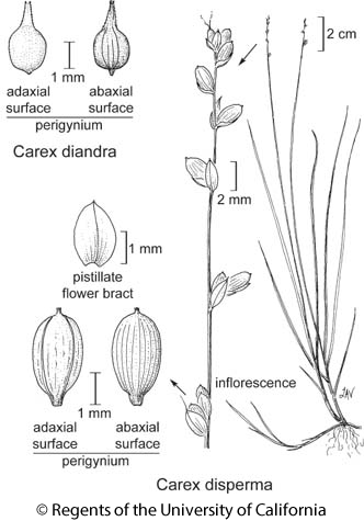 botanical illustration including Carex disperma