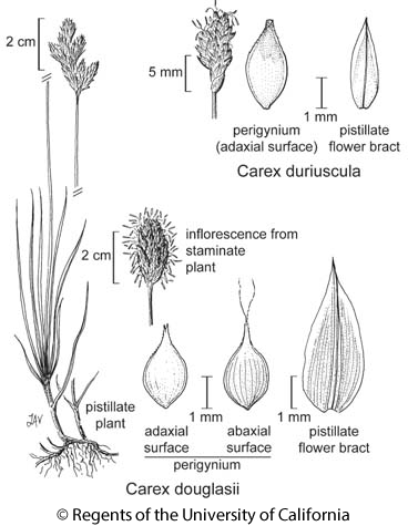 botanical illustration including Carex duriuscula