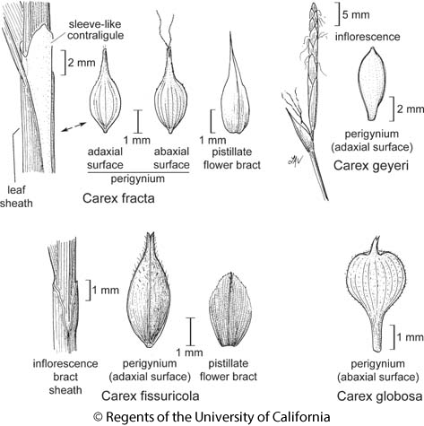 botanical illustration including Carex fracta