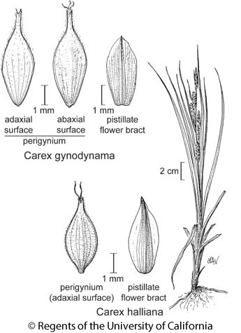 botanical illustration including Carex halliana