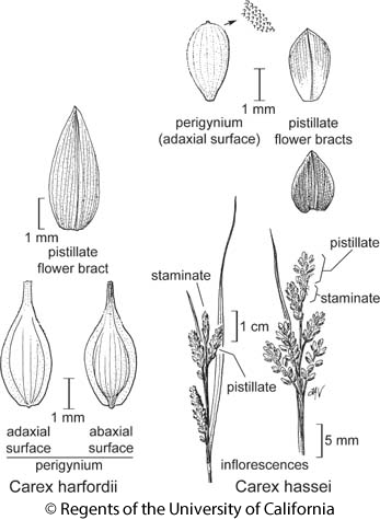 botanical illustration including Carex hassei