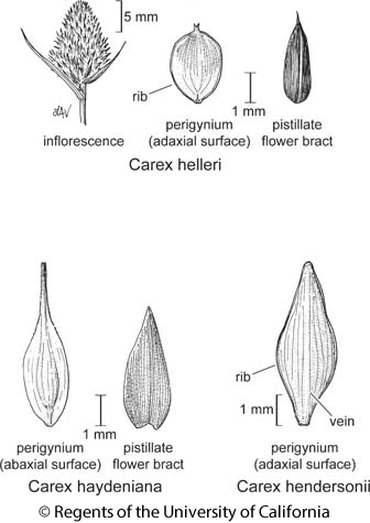 botanical illustration including Carex helleri