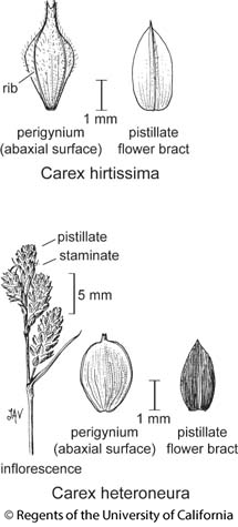 botanical illustration including Carex heteroneura