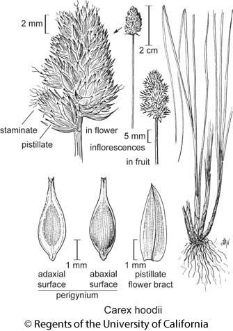 botanical illustration including Carex hoodii