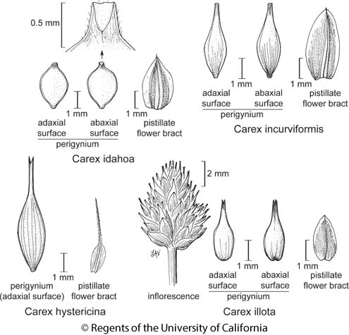 botanical illustration including Carex incurviformis