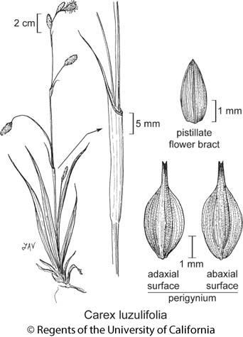 botanical illustration including Carex luzulifolia
