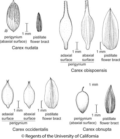 botanical illustration including Carex obispoensis
