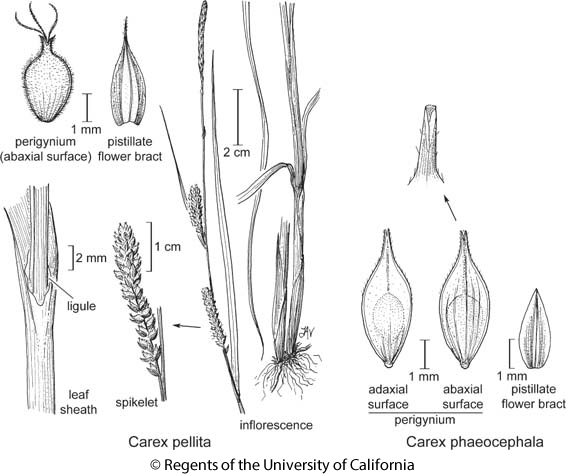 botanical illustration including Carex pellita