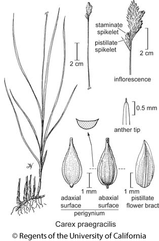 botanical illustration including Carex praegracilis