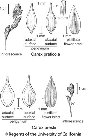 botanical illustration including Carex preslii