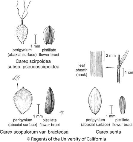 botanical illustration including Carex scopulorum var. bracteosa