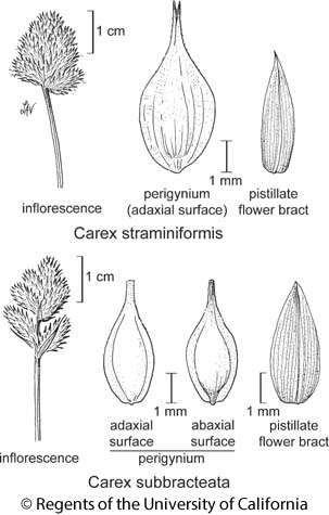 botanical illustration including Carex straminiformis
