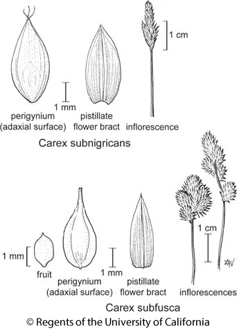 botanical illustration including Carex subfusca