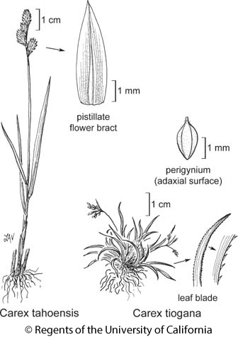 botanical illustration including Carex tahoensis