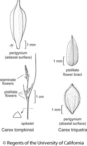 botanical illustration including Carex tompkinsii