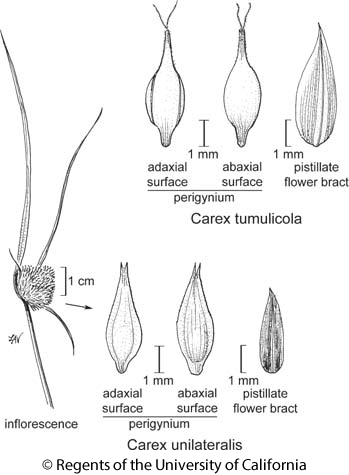 botanical illustration including Carex tumulicola