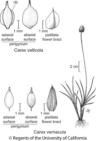 botanical illustration including Carex vallicola