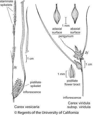 botanical illustration including Carex viridula subsp. viridula