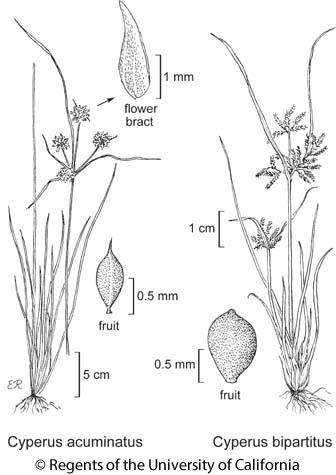botanical illustration including Cyperus acuminatus